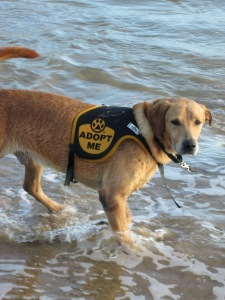 Nov 1 2012 Taking Pup Kauai on 1st field trip from Kauai Humane Society at Kalapaki Beach (122)