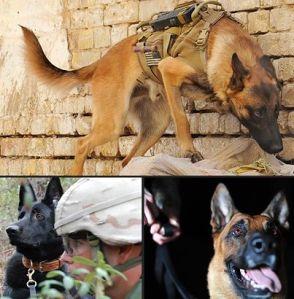 war dogs scouting terrain