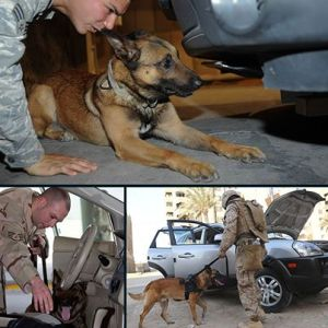 war dogs walking patrol vehicle search